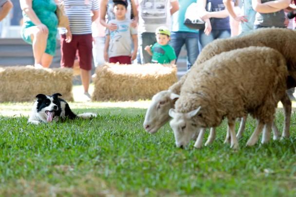 Border Collie é capaz de manejar rebanhos de até 200 cabeças bovinas ou 400 ovinas